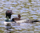 A Look at Local Loons