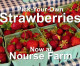Fresh Pick-Your-Own Strawberries – Nourse Farm